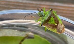 A green shield bug in Milngavie, East Dunbartonshire, Scotland on 26 February.
