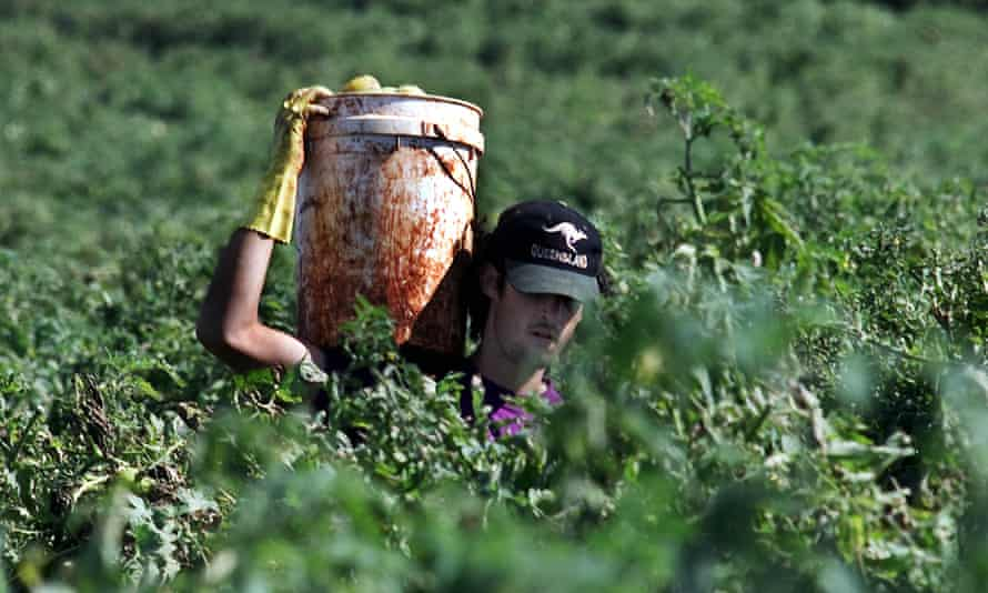 A backpacker picking tomatoes in Childers, Queensland