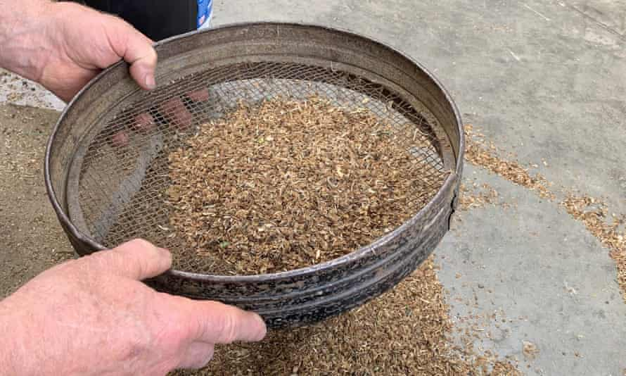 Sieving the yellow rattle seed.
