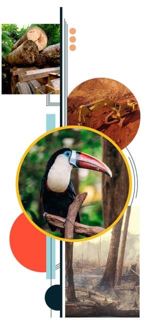 Amazon rainforest deforestation and toucan