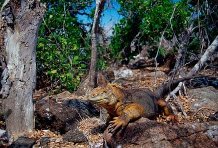 A land iguana on the Galapagos Islands, Ecuador.