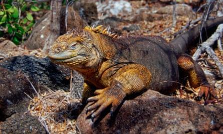 Land Iguana, Galapagos Isles