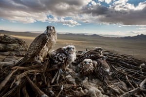Falcons and the Arab Influence by Brent Stirton