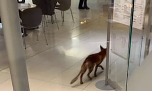 Fox on the loose in Parliament.