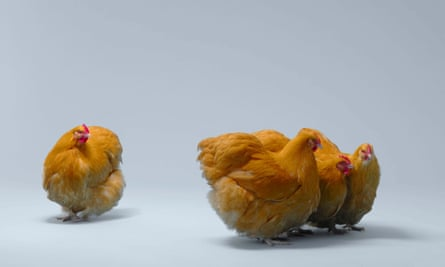 a group of  chickens