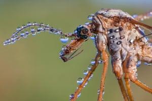 Hidden Britain Category: Alex Hyde, 'Dew-covered Crane Fly', Peak District national park, Derbyshire, England