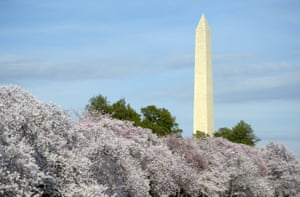 Cherry trees are seen in full bloom in Washington, DC