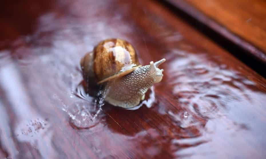 A snail in a rain shower