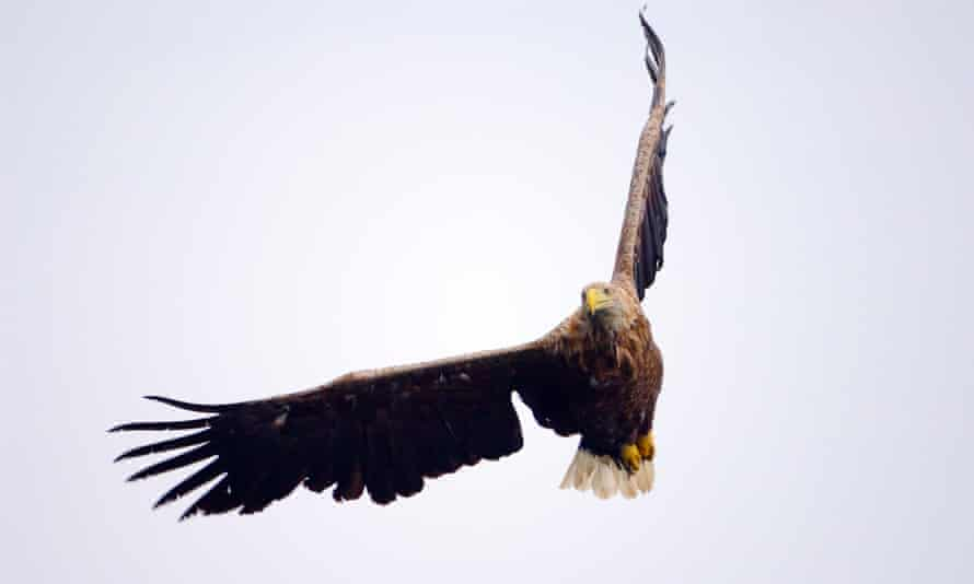A white-tailed eagle, commonly known as a sea eagle