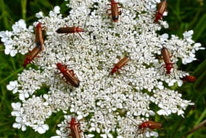A mass of soldier beetles congregate on wild flowers at Anvil Point in Swanage, UK