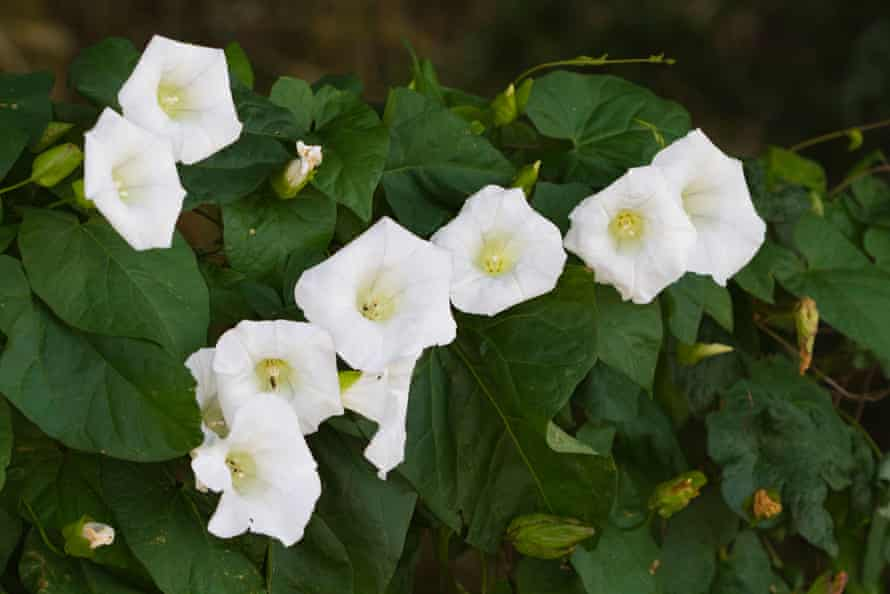 Bindweed … 'the flowers are twirly things that look like ice-cream cones, they're just gorgeous.'