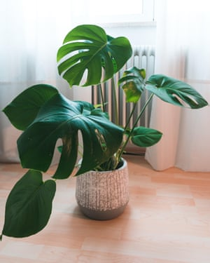Monstera deliciosa, or Swiss cheese plant