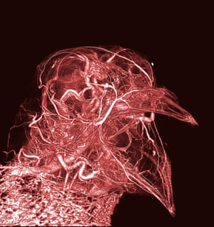 Scott Echols's image of the tiny blood vessels in the head of a pigeon, created by a CT scanner and a special 'contrast agent' to highlight the microvasculatory system.