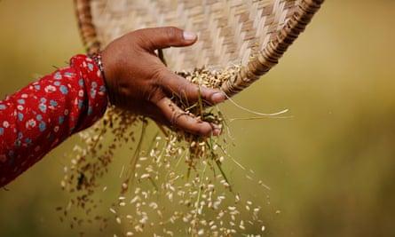 Harvesting rice in Nepal