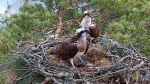 Ospreys known as LM12 and NC0 have successfully raised a chick in their first season as a breeding pair near the Loch of the Lowes in Perthshire