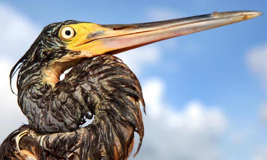 A tri-colored heron covered with oil from the Deepwater Horizon gulf oil spill near Grand Isle, Louisiana