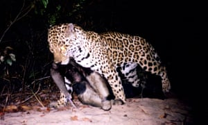 Jaguar caught on camera trap with adult giant anteater in the cerrado.