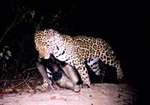 a jaguar carrying the body of an adult giant anteater