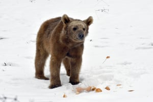 A bear cub comes into the city of Kars in Turkey to look for food