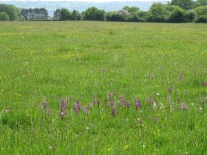 Thousands of green-winged orchids in herb-rich neutral grassland at Chew Valley Lake.
