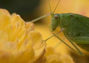 A grasshopper sits on flowers in Freiburg, southern Germany