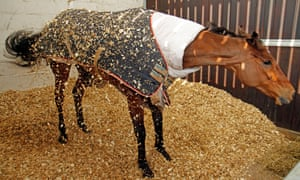 Cue Card shakes himself after a roll in his box at Colin Tizzard's stables.
