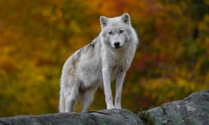 A wolf standing on a rock