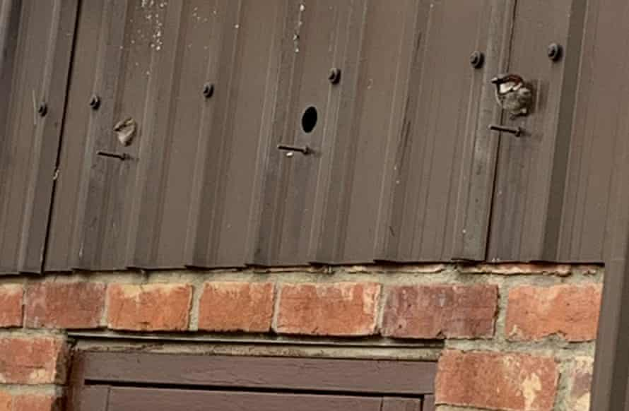 House sparrows at the diesel store on Kate Blincoe's farm.