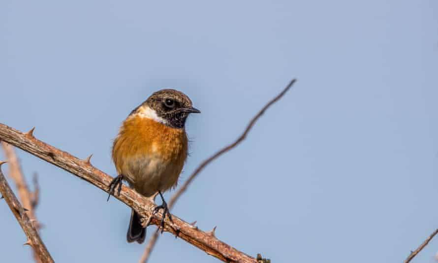 A male stonechat perched on a branch.