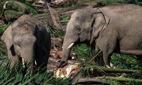 Wildlife corridors to save Borneo elephants – in pictures