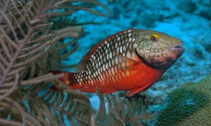A threatened Caribbean parrotfish