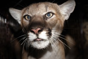 A female mountain lion in the Simi Hills north-west of Los Angeles
