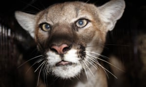 There were mountain lion sightings in the area near Simi Valley where a dog was attacked.