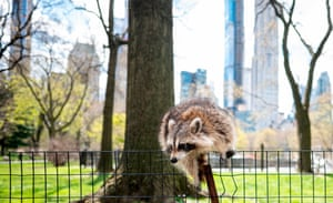 Racoon jumps fence