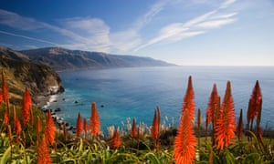 Aloe vera plants in bloom by ocean at California, Big Sur.