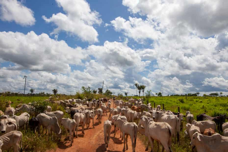 Cowherds move cattle from farms in the Terra do Meio