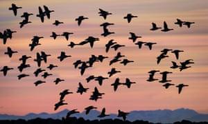 Flock of Geese flying at Sunset, Reykjavik, Iceland