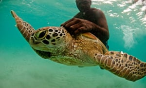 A ranger from the island of Tetepare in the Solomon Islands tags a green turtle.