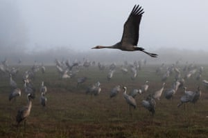 Hula, Israel. A crane takes flight as others gather during the migration season on a foggy morning at the nature reserve