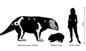 The image gives an indication of how the palorchestids compare with humans in terms of height and weight