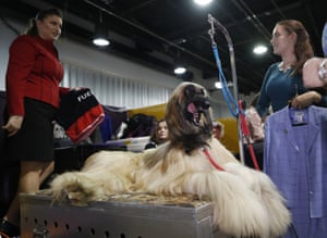 An Afghan Hound gets groomed backstage at best in breed competitions