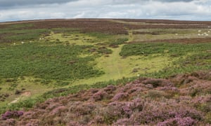 There is much less Heather on the Long Mynd in Shropshire this year.