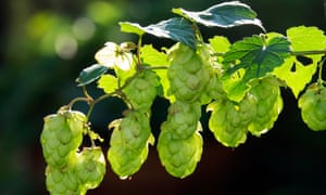 Hops used for beer makingfrom Hoxne, Suffolk