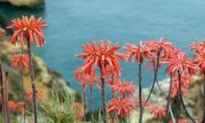Aloe flowers near Lagos.