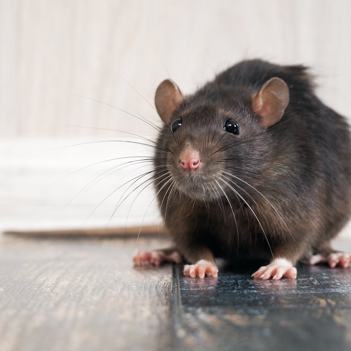 Are millions of rats about to invade UK homes? | Environment | The ...