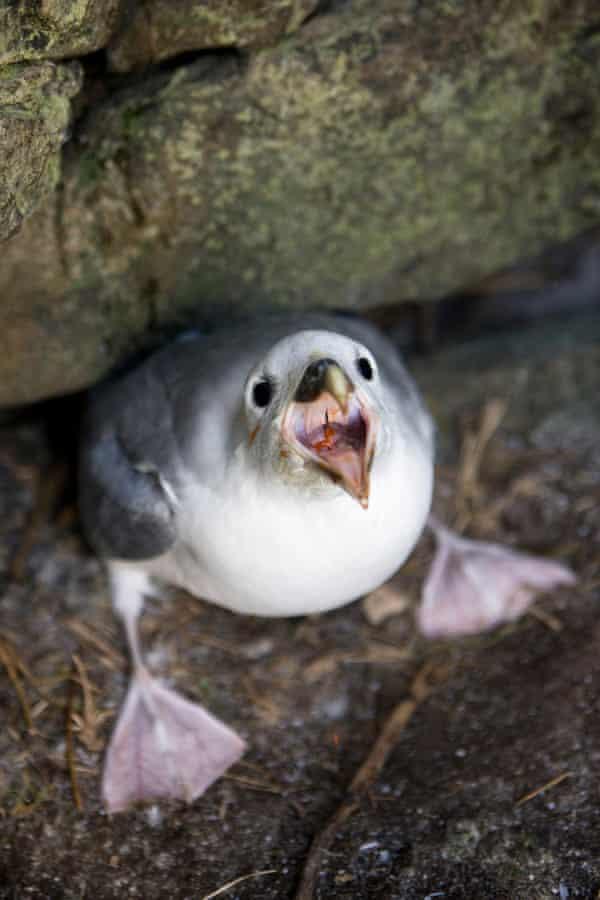 A fulmar chick inside a prehistoric building in Glen bay.