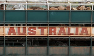 live cattle export