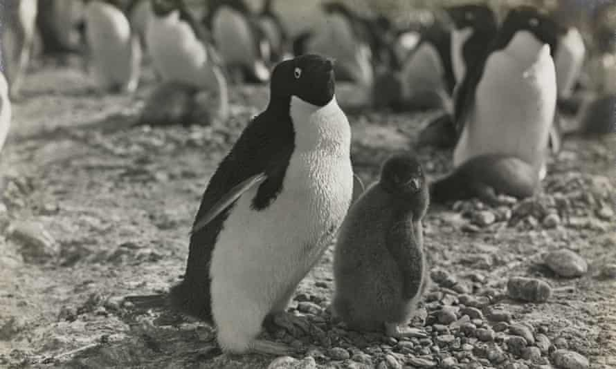 George Murray Levick's 1910-13 observations and photographs (above) of Adélie penguins offer insights into the species at risk from climate crisis, the Natural History Museum says.