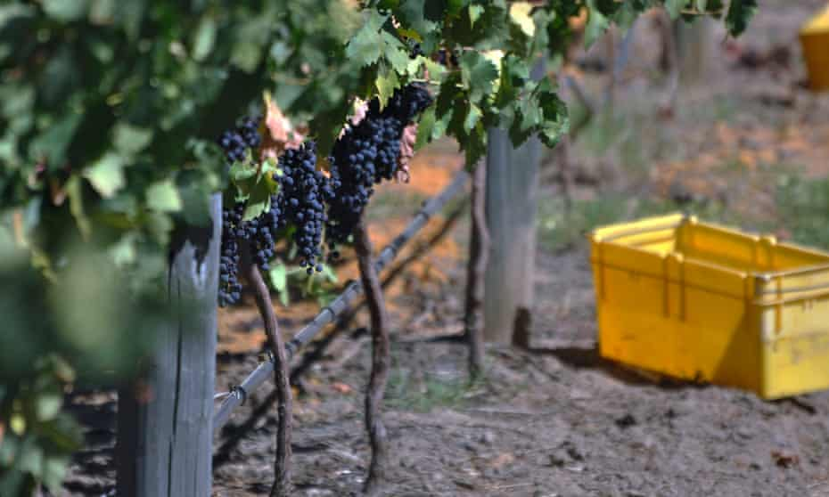 Tempranillo grapes in Western Australia's Swan Valley.
