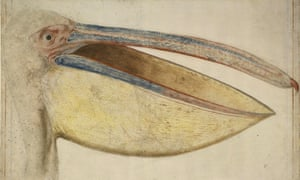 Head of a European or Great White Pelican (Pelecanus onocrotalus), 1635, by Vincenzo Leonardi, in the Barber Institute's exhibition The Paper Museum: The Curious Eye of Cassiano dal Pozzo.